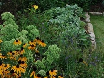 majure-perennial-garden-rudbeckia